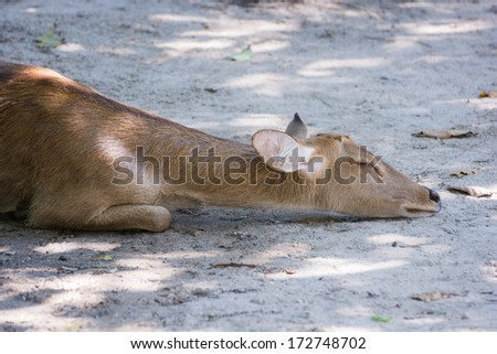 Close up portrait of an antelope and closely - stock photo