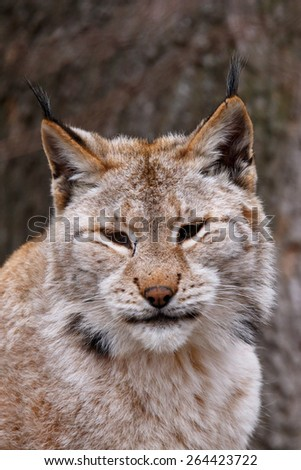 Close-up portrait of an Eurasian Lynx - stock photo