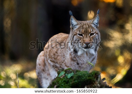 Close-up portrait of an Eurasian Lynx in forest (Lynx lynx)