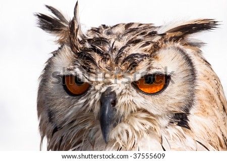 Close up portrait of an owl against a white background - stock photo