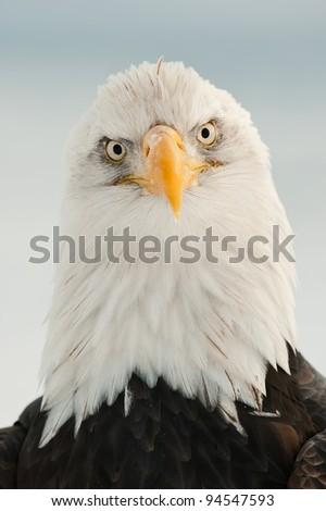 Close-up Portrait of Bald Eagle (Haliaeetus leucocephalus), Alaska, USA - stock photo