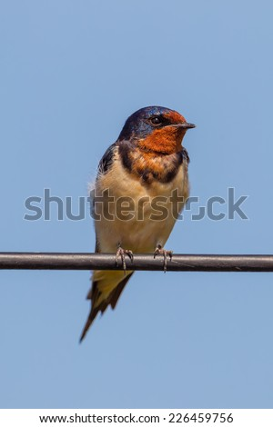 Close up portrait of Barn Swallow in nature - stock photo