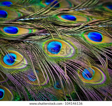 Close-up portrait of beautiful peacock with feathers out - stock photo