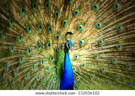Close up Portrait of beautiful peacock with feathers out - stock photo