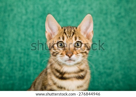 Close-up portrait of Bengal kitten on green background  - stock photo