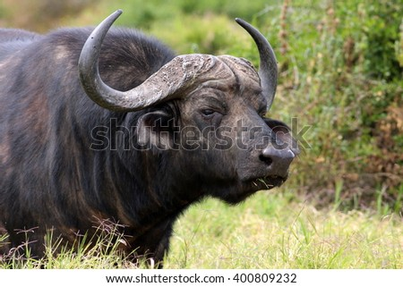 Close up portrait of cape buffalo head and horn. South Africa - stock photo
