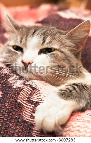 close-up portrait of cat with big paw in the foreground (only snout in focus) - stock photo