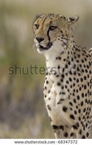 Close-up portrait of Cheetah; Acinonyx jubatus; South Africa - stock photo