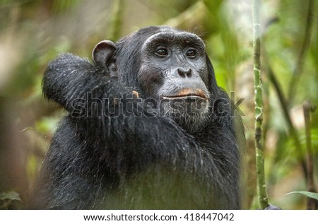Close up portrait of chimpanzee ( Pan troglodytes ) resting in the jungle. Natural habitat. Kibale forest in Uganda  - stock photo