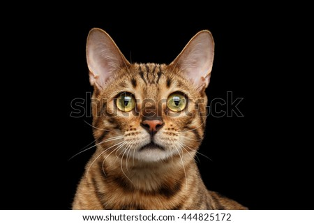 Close-up Portrait of Curious Face Bengal female Cat with beautiful eyes and Red nose, Looks with Interest, Isolated Black Background, Front view - stock photo