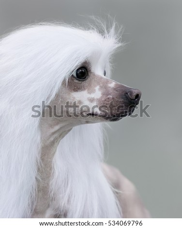 Close up portrait of dog. Chinese Crested Dog Breed. Side view
