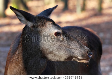 Close-up portrait of female deer in the forest - stock photo