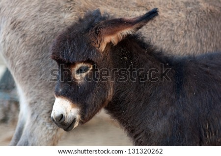 Close up portrait of foal, baby donkey. - stock photo