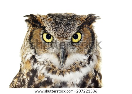 Close up portrait of Great horned owl, Bubo virginianus, looking at camera, isolated on white        - stock photo