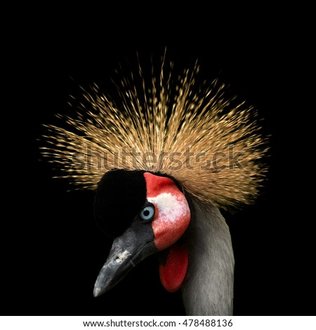 Close up portrait of Grey crowned crane, Balearica regulorum, african bird with crown of stiff golden feathers, looking left isolated on black background. Uganda, Murchison falls, Africa