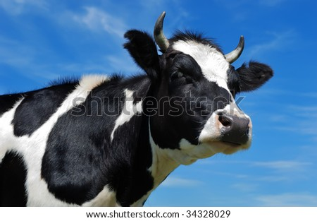 close-up portrait of horned cow with black and white spots over bright blue sky
