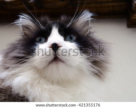Close Up Portrait of Intense Stare Long Haired Bi-Color Brown White Blue Eyed Ragdoll Cat with a black button nose from Upwards Perspective  - stock photo