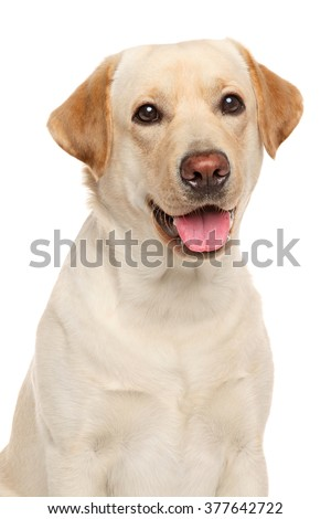 Close-up portrait of Labrador retriever isolated on a white background - stock photo