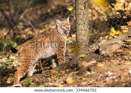 close up portrait of Lynx female during the autumn - stock photo