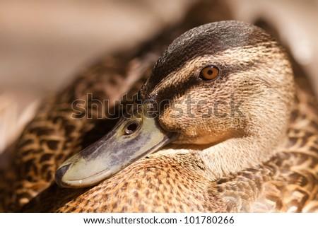 Close up portrait of Mallard or Wild Duck, Anas platyrhynchos - shallow DOF - stock photo