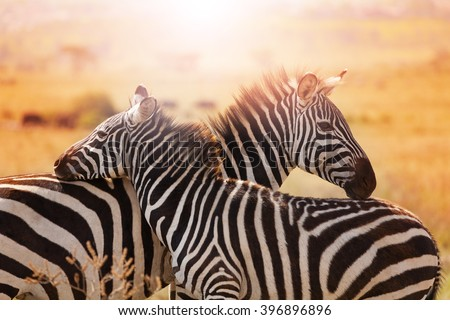 Close-up portrait of mother zebra with its foal