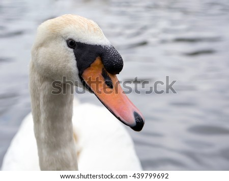 Close up portrait of mute swan - stock photo