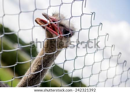 Close up portrait of ostrich - stock photo
