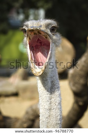 Close up portrait of ostrich , with beak open - stock photo