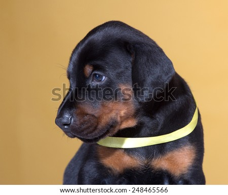 Close up Portrait of Puppy with yellow belt  on yellow background - stock photo