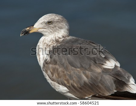 Close up portrait of Seagull from Sea of Cortes, Mexico - stock photo