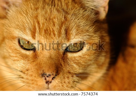 close up portrait of tabby cat - stock photo