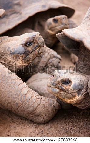 Close up portrait of the largest living species of tortoise - stock photo