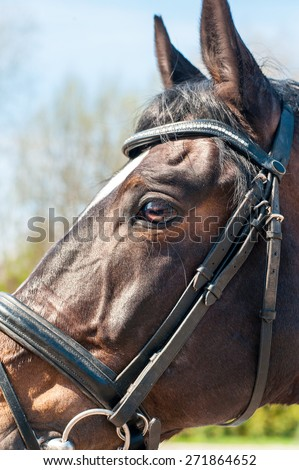 Close-up portrait of thoroughbred brown horse head in bridle side view.  Multicolored summertime outdoors image. - stock photo
