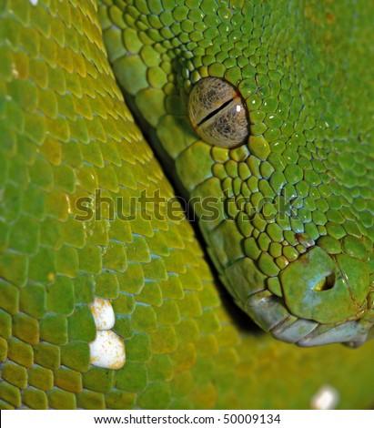 close up portrait of tree python - stock photo