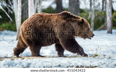 Close-up Portrait of walking  Adult Male of Brown Bear (Ursus arctos) on the snow in sunset light. Spring forest, swamp
