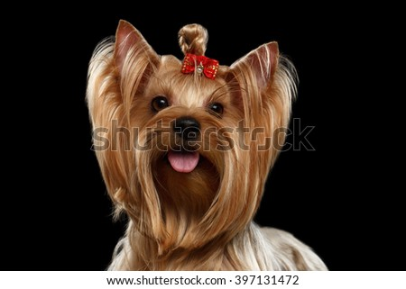 Close up Portrait of Yorkshire Terrier Dog with bow on head Looking in Camera isolated on Black background