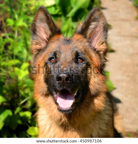 CLose-up portrait of Young Fluffy Dog Breed German Shepherd lying in the garden outdoor. Pet outside - stock photo