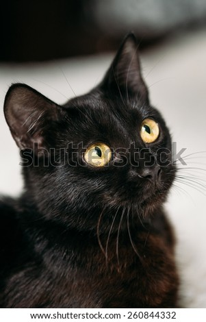 Close Up Portrait Peaceful Black Female Kitten Cat - stock photo
