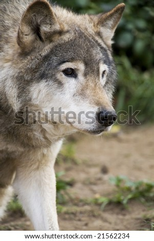 Close up Portrait Russian Siberian Wolf - stock photo