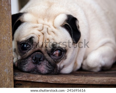 close up portraits of a lovely funny white cute fat good pug dog close up laying on a wooden chair making sad face outdoor under natural sunlight on a sunny day