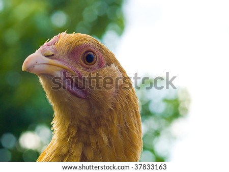 Close up portraits of free range chickens