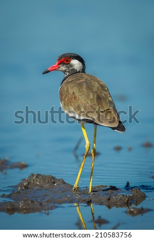Close up portriat of Vanellus indicus (red-wattled lapwing) in nature of Thailand - stock photo