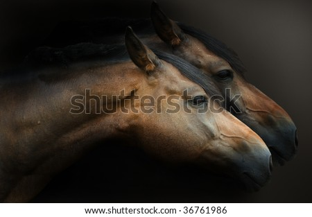 Close up profile horses heads against dark background - stock photo