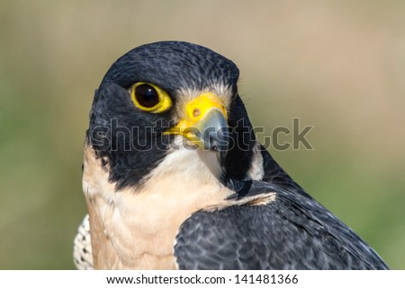 Close up profile of a Peregrine Falcon - stock photo