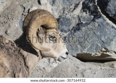 Close up profile of a wild Rocky Mountain Big Horned Sheep, Alberta Canada - stock photo