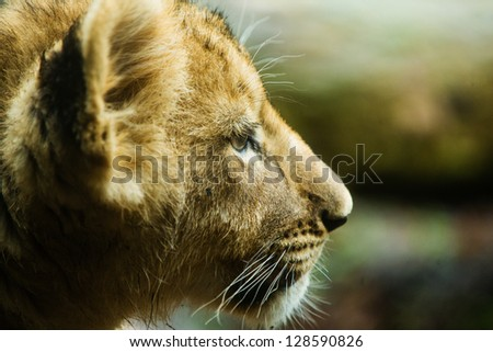 close up profile of a young lion cub - stock photo