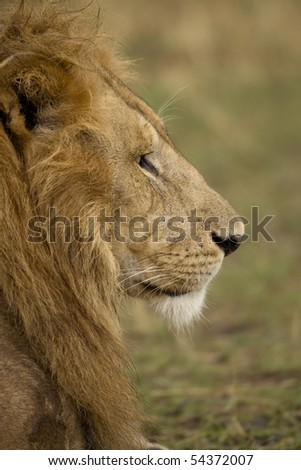 Close-up profile of adult lion, Serengeti National Park, Serengeti, Tanzania - stock photo