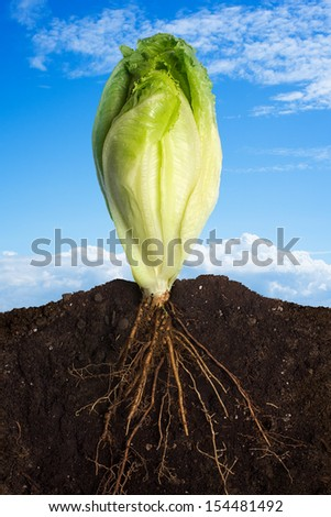 Close up Profile of Fresh Lettuce Growing with Underground View of Roots and Above Ground View of Green Leafy Top over Sky Panorama. Clean eating concept. Healthy eating - stock photo