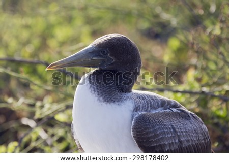 Close-up profile of the head of a nazca booby. Selective focus on the head, other parts of the bird have a soft focus and background is out of focus