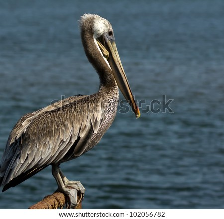 Close up profile view of Brown Pelican at Bolsa Chica Wetlands, Ecological Reserve in Huntington Beach, California - stock photo